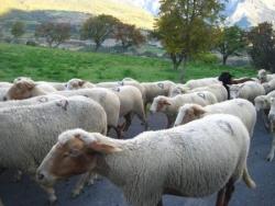 Arrivée à Saint André avec les moutons!