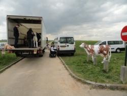 Les vaches normandes !