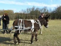 L'âne qui tracte la randoline