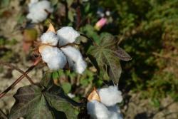 Champs de coton dans la plaine du Méandre