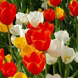 Tulipe au Parc Gülhane