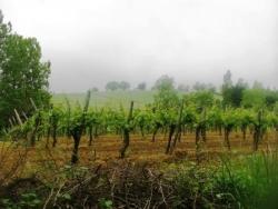 Vignes pour l'Armagnac près de Montesquiou