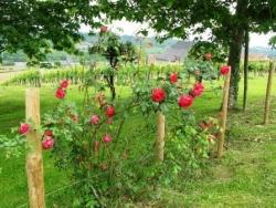 Roses et vignes du Jurançon à Monein