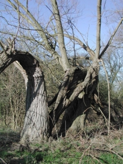 Winter trees 13.2.05