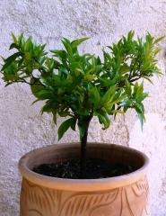 Savon noir traitement maison contre la cochenille le jardin de lulu - Traitement cochenille savon noir ...