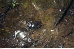 Petites tortues d'eau sur le chemin