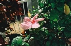 hibiscus by home