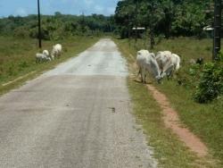 coucou les vaches