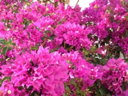 Bougainvilliers...