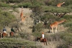 A cheval au milieu des girafes