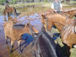 Les chevaux sauvages de la lagune