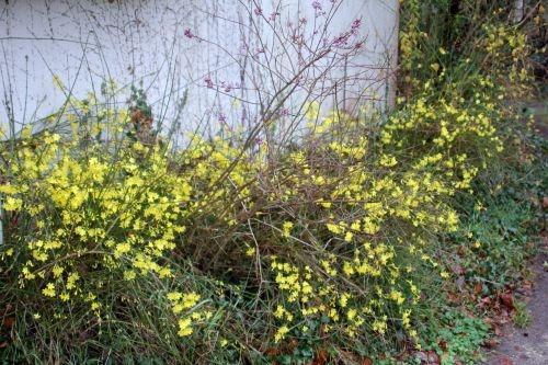 Loge du jasmin d 39 hiver sureaux - Jasmin d hiver blanc ...