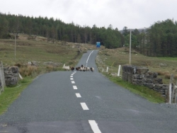 Moutons du Connemara