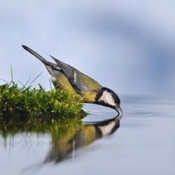 Mésange au bord de l'eau