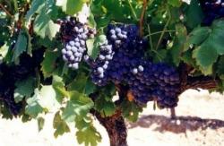 Vigne et grappes de raisins 1