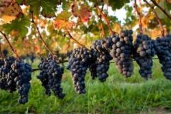 Vigne et grappes de raisins 2