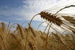 Epis de blé 3