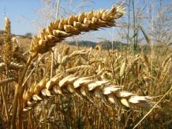 Epis de blé 2