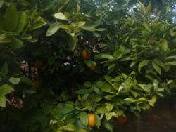 Oranger dans le jardin d'un village spécial NEDM