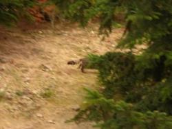 un chat tigré, poils longs