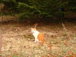 un chat roux et blanc