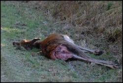 voila la réalité de la chasse!