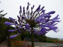 fleur d'agapanthe