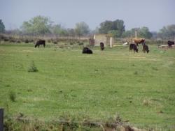 Saintes-Maries-de-la-Mer, les taureaux