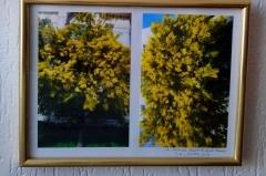 mimosa,anniversaire,synchronicités
