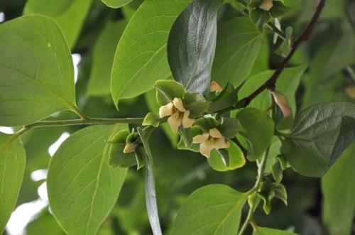 Le plaqueminier ou arbre a kaki flore de senlisse - Arbre a kaki ...
