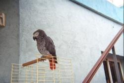 Perroquet songeur