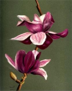 Magnolia - Aquarelle - 49x32