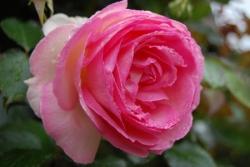 Rose de Keredol