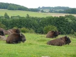 Des bisons à Bleurville !
