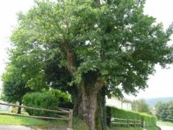 Le chêne des Saints