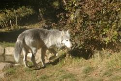Canis Lupus Mackenzii