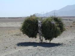 Afghanistan, pas bon être un âne