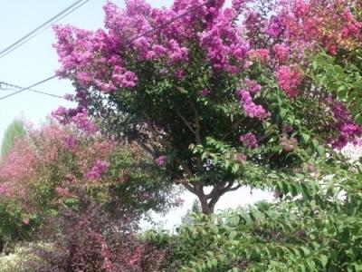 Lagestromia o lilas des indes le paradis d 39 une passionn e - Lilas des indes blanc ...