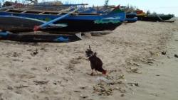 06-2 La volaille profite aussi de la plage P110013