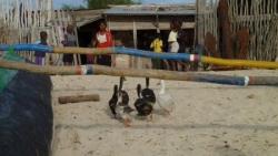 06-1 La volaille profite aussi de la plage P110013