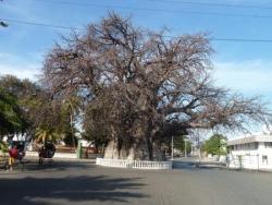 le gros baobab.JPG