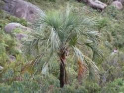 palmiers endémiques de madagascar