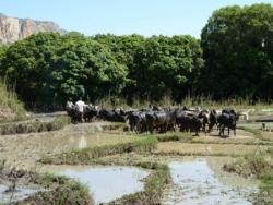 21 les zébus labourent les rizière