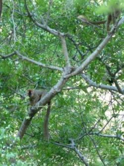 16 un lémurien