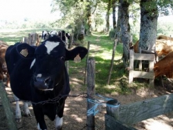 Vache Ytracoise