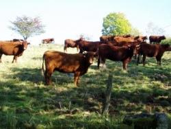 Vaches (à) Salers