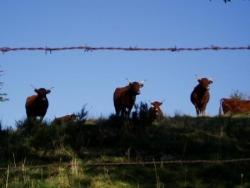 Gare aux vaches (Salers)