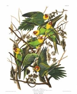 Audubon Peroquet