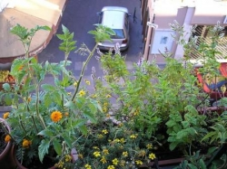 Tomates, oeillets, menthes et solaires