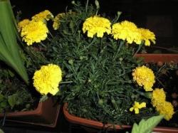 Oeillets jaunes à l'odeur cannabineuse